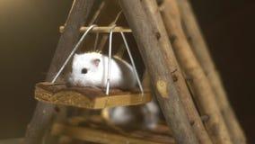 De pluizige witte hamster beklimt keurig op een schommeling die op een houten speelplaats voor knaagdieren, langzame motie hangt stock footage