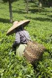 De plukker van de thee royalty-vrije stock fotografie