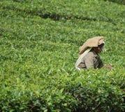 De plukker van de thee Stock Foto's