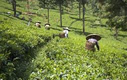 De plukkers van de thee stock afbeelding
