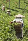 De plukkers van de thee royalty-vrije stock afbeelding