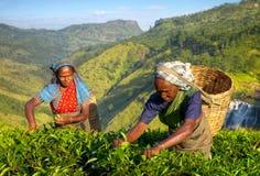 De Plukkers van de vrouwenthee in Sri Lanka Stock Foto's