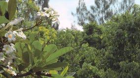 De Plumeriaboom is hoog en velen komen in tuin tot bloei stock video