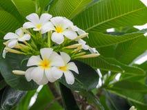 De Plumreia blommorna Royaltyfria Bilder