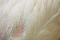 De plus grandes plumes de flamant Photos libres de droits