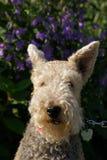 De Poedel en de Bloemen van Terrier Stock Foto's