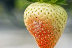 De poederachtige aphanis schimmelgroei van schimmelpodosphaera op een rijpend aardbeifruit royalty-vrije stock afbeeldingen