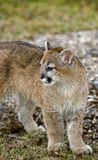 De poema (Felis Concolor) kijkt Linker - Lichaam stock afbeelding