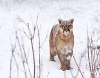 De poema in het hout, Poema ziet eruit, kiest kat op sneeuw uit royalty-vrije stock foto