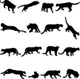 De poema is Noordamerikaanse grootste kat. Stock Afbeelding