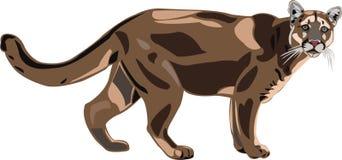 De poema is Noordamerikaanse grootste kat. Stock Foto's
