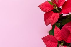 De poinsettia op roze achtergrond royalty-vrije stock afbeelding