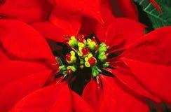 De poinsettia van de bloem Stock Afbeelding