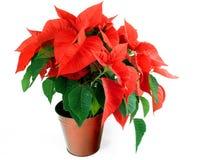 De Poinsettia van Kerstmis Stock Fotografie