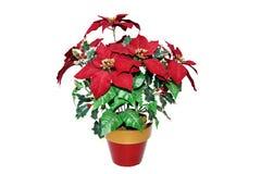De Poinsettia van Kerstmis die op wit worden geïsoleerd Royalty-vrije Stock Afbeeldingen