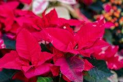 De poinsettia zijn een heldere sierplant met rode bladeren op de bovenkanten van spruiten De lagere bladeren op de takken zijn gr royalty-vrije stock foto's