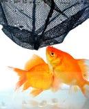 or de poissons Photos libres de droits