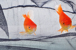 or de poissons Image stock