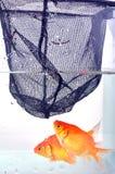 or de poissons Photos stock