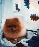 De Pomeranianhond zit door het venster en omhoog verpakt in een deken Regen buiten het venster Royalty-vrije Stock Foto's