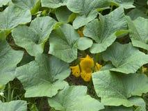 De pompoenbladeren en bloem van Butternut Stock Afbeeldingen