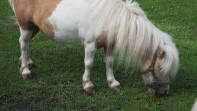 De poney eet gras op het landbouwbedrijf stock video