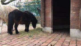 De poney en de lama smakken hooi stock footage