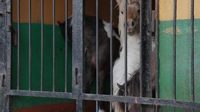 De poney in de kooi in de dierentuin is droevig stock footage