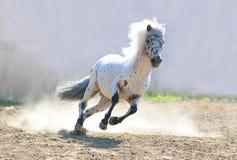 De poney van Appaloosa het lopen stock afbeelding