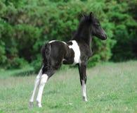 De poney van Dartmoor royalty-vrije stock afbeelding