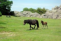 De poney van Dartmoor met veulen Stock Afbeeldingen