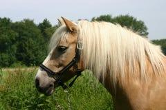 De poney van Haflinger Royalty-vrije Stock Fotografie