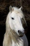 De Poney van het hoogland Royalty-vrije Stock Fotografie