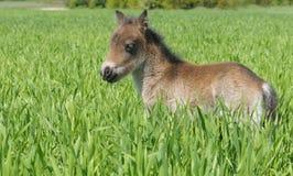 De poney van het veulen stock fotografie