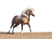 De poney van Palomino stock afbeelding