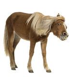 De poney van Shetland (2 jaar) Stock Foto's