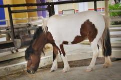 De poney van Shetland Royalty-vrije Stock Fotografie