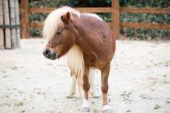 De poney van Shetland Stock Afbeelding