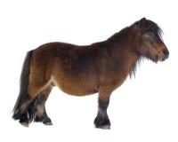 De poney van Shetland Stock Fotografie