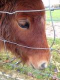 De Poney van Shetland Royalty-vrije Stock Foto's