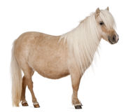 De poney van Shetland van Palomino, caballus Equus Royalty-vrije Stock Foto's