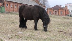 De poney weidt op een gazon in aard in de lente stock footage