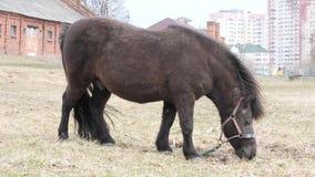 De poney weidt op een gazon in aard in de lente stock video