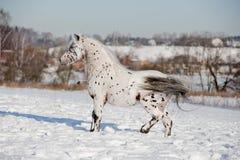 De poneyhengst van Appaloosa royalty-vrije stock foto's