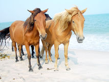 De Poneys van Assateague Stock Foto's