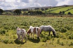 De poneys van Dartmoor Stock Afbeeldingen