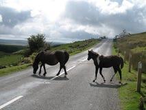 De poneys van Dartmoor Stock Foto's