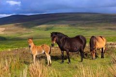 De Poneys van Exmoor Royalty-vrije Stock Foto's