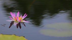 De pool met lotusbloembloemen het bloeien stock video