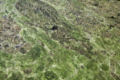 De Pool van algen Stock Foto